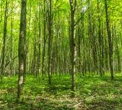 Lasowa sceneria na pogodnym wiosna letnim dniu z traw żywymi drzewami zielenią i opuszcza przy gałąź przy parkowym botanicznym pl Zdjęcie Royalty Free