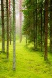 lasowa sosna Obraz Stock