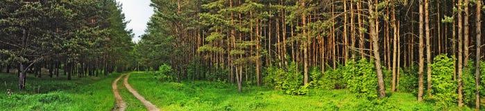 lasowa sosna Obrazy Stock