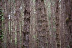 Lasowa sosna Fotografia Stock