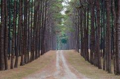 lasowa sosnowa droga Zdjęcie Royalty Free