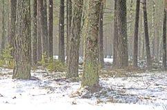 lasowa sosnowa zima obrazy stock