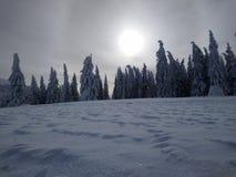 lasowa sosnowa zima zdjęcia stock