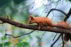 Lasowa wiewiórka fotografia royalty free