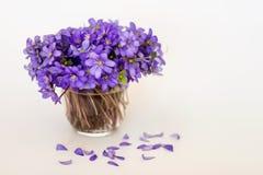 Lasowa wiosna Hepatica kwitnie z spada płatkami na białym tle obraz royalty free