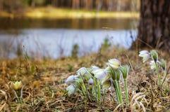 Lasowa wiosna kwitnie śnieżyczki w drewnach, Fotografia Royalty Free
