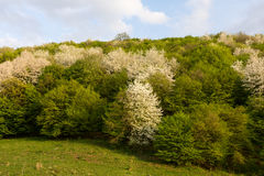 Lasowa wiosny metamorfizacja od bielu zielenieć drzewa Zdjęcia Royalty Free