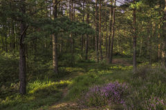 Lasowa wrzos sosna Fotografia Stock