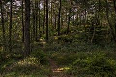 Lasowa wrzos sosna 2 obrazy stock