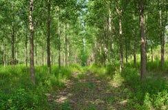 Lasowa wycieczkuje droga z drzewami wszystko wokoło Obrazy Royalty Free