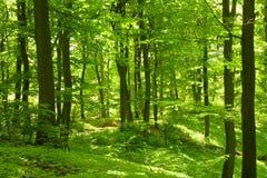 lasowa zieleń Zdjęcie Stock