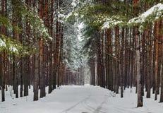 lasowa zima Obrazy Royalty Free