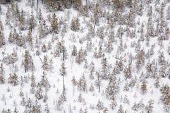 lasowa zima Obraz Royalty Free