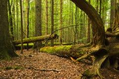 Lasowe bele Obrazy Stock