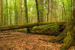 Lasowe bele Zdjęcia Stock