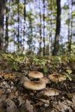 lasowe pieczarki Zdjęcia Stock