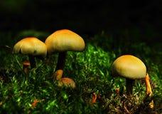 lasowe pieczarki Obraz Stock