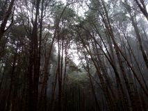 lasowe sosny fotografia royalty free
