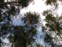 Lasowe sosny Obrazy Stock