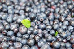 lasowe tło jagody Obrazy Stock