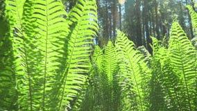 Lasowe zielenie fernandez Słońce błyszczy w obiektywie zbiory wideo