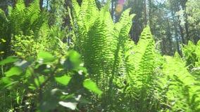 Lasowe zielenie fernandez Słońce błyszczy w obiektywie zdjęcie wideo