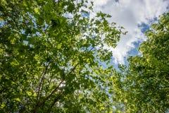 Lasowego drzewa lato Fotografia Stock