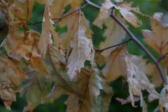 Lasowego drzewa ulistnienie Obraz Royalty Free