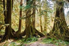 lasowego hoh krajowy olimpijski parka deszcz zdjęcia stock