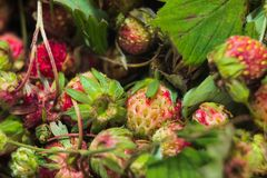 Lasowego lata truskawek jagod czerwony dziki słodki tło makro- Zdjęcia Stock