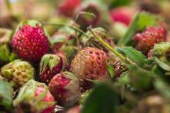 Lasowego lata truskawek jagod czerwony dziki słodki tło makro- Obrazy Royalty Free