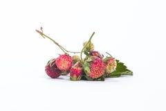 Lasowego lata truskawek jagod czerwony dziki słodki tło makro- Obraz Royalty Free
