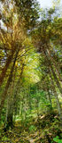 lasowej panoramy gęsty vertical Zdjęcia Stock