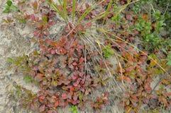 Lasowej trawy czerwony kolor jest naturalnym pokrywą w jesieni Zdjęcia Royalty Free