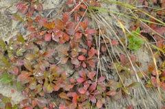 Lasowej trawy czerwony kolor jest naturalnym pokrywą w jesieni Fotografia Stock