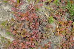 Lasowej trawy czerwony kolor jest naturalnym pokrywą w jesieni Obrazy Royalty Free