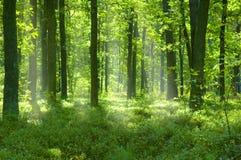 lasowej zieleni drzewa Obraz Royalty Free