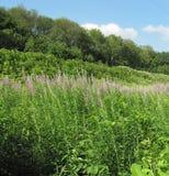 Lasowej zieleni trawy menchii miodowy kwiat zdjęcia stock