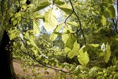 lasowi świezi liść Zdjęcie Royalty Free