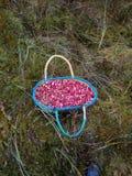 Lasowi cranberries Zdjęcie Stock