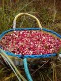 Lasowi cranberries Zdjęcia Stock