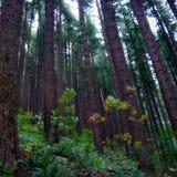 Lasowi Duzi Zalecają się Fotografia Stock