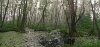 Lasowi gąszcze Dziwożona odwiedza Reliktowy las, olchowa czerwień Fotografia Royalty Free