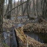 Lasowi gąszcze Reliktowy las, olchowa czerwień Obraz Stock