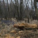 Lasowi gąszcze Reliktowy las, olchowa czerwień Zdjęcia Stock