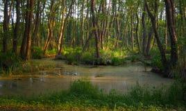 Lasowi gąszcze Reliktowy las, olchowa czerwień Obrazy Stock