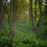 Lasowi gąszcze Reliktowy las, olchowa czerwień Obraz Royalty Free