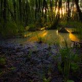 Lasowi gąszcze Reliktowy las, olchowa czerwień Obrazy Royalty Free