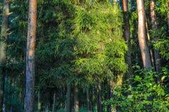 Lasowi gąszcze Turystyczna marszruta dla doświadczonych podróżników Rosja zdjęcia stock