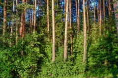 Lasowi gąszcze Turystyczna marszruta dla doświadczonych podróżników Rosja obraz royalty free